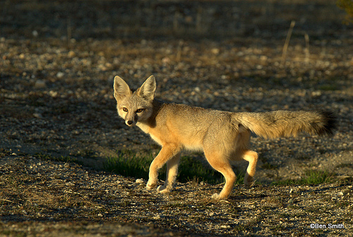 Kit fox Vulpes macrotis