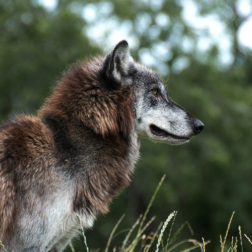 Susi Canis lupus - Mai is a North American Wolf